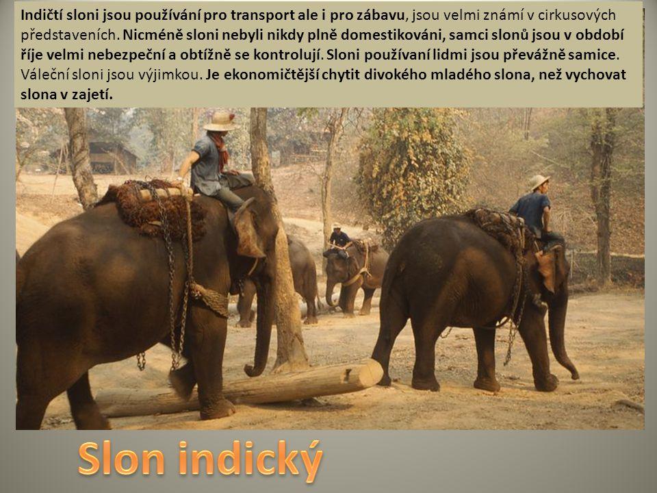 Indičtí sloni jsou používání pro transport ale i pro zábavu, jsou velmi známí v cirkusových představeních. Nicméně sloni nebyli nikdy plně domestiková