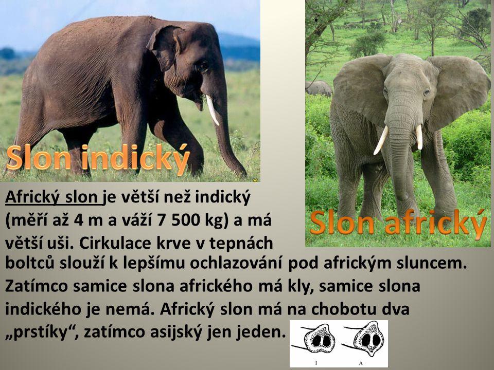 . Africký slon je větší než indický (měří až 4 m a váží 7 500 kg) a má větší uši. Cirkulace krve v tepnách boltců slouží k lepšímu ochlazování pod afr