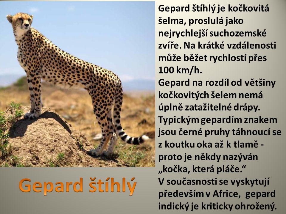 Gepard štíhlý je kočkovitá šelma, proslulá jako nejrychlejší suchozemské zvíře. Na krátké vzdálenosti může běžet rychlostí přes 100 km/h. Gepard na ro