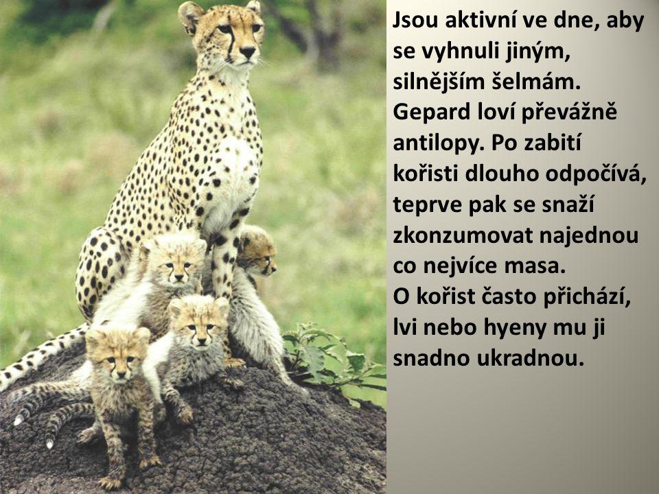 Jsou aktivní ve dne, aby se vyhnuli jiným, silnějším šelmám. Gepard loví převážně antilopy. Po zabití kořisti dlouho odpočívá, teprve pak se snaží zko