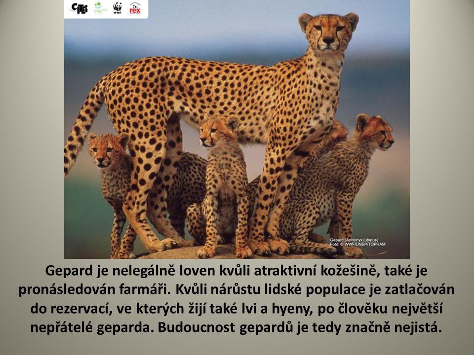Gepard je nelegálně loven kvůli atraktivní kožešině, také je pronásledován farmáři. Kvůli nárůstu lidské populace je zatlačován do rezervací, ve který