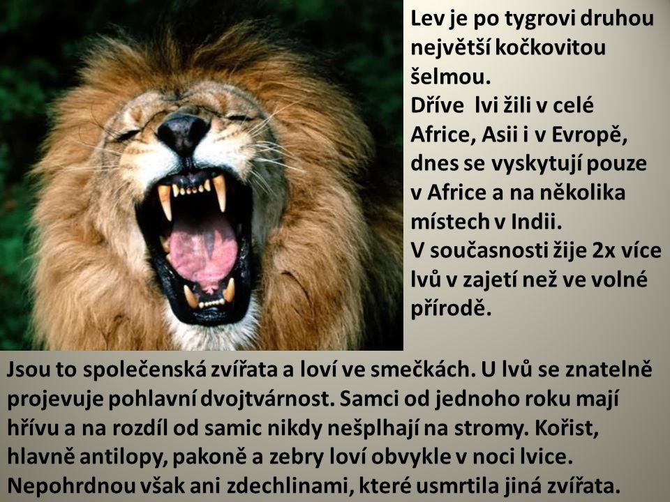 Lev je po tygrovi druhou největší kočkovitou šelmou. Dříve lvi žili v celé Africe, Asii i v Evropě, dnes se vyskytují pouze v Africe a na několika mís