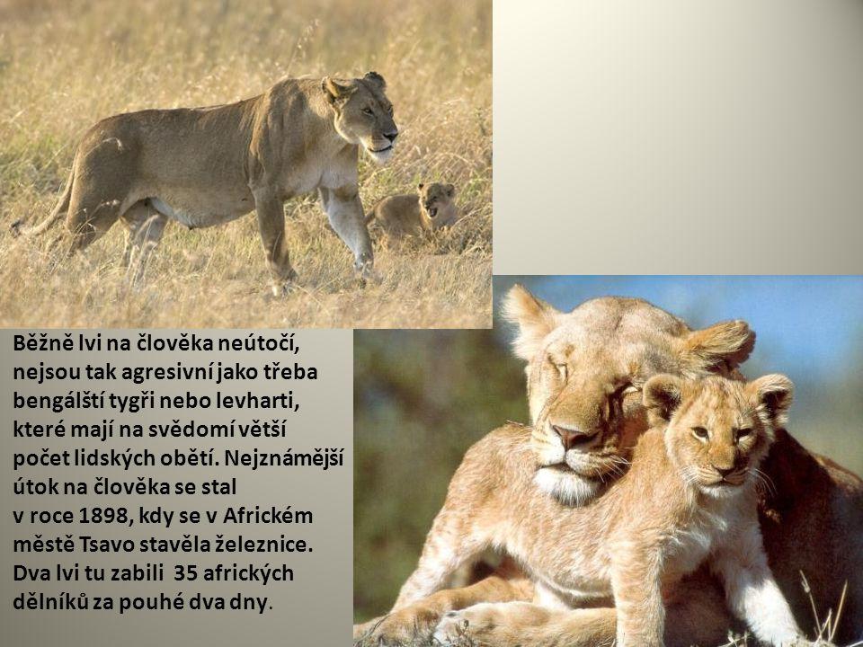 Běžně lvi na člověka neútočí, nejsou tak agresivní jako třeba bengálští tygři nebo levharti, které mají na svědomí větší počet lidských obětí. Nejznám