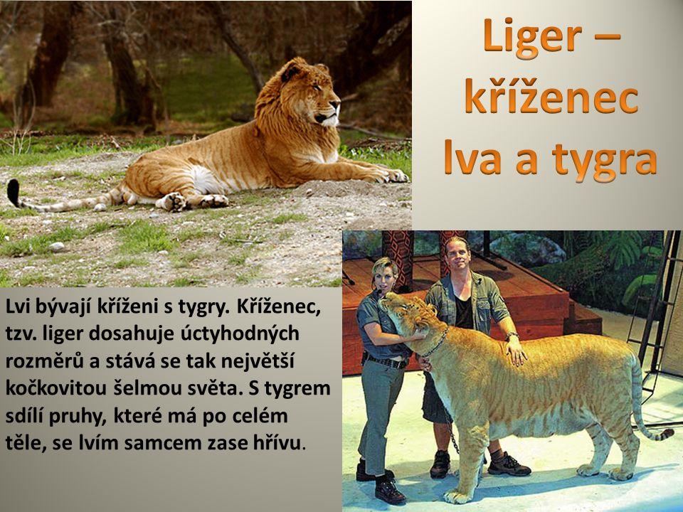 Lvi bývají kříženi s tygry. Kříženec, tzv. liger dosahuje úctyhodných rozměrů a stává se tak největší kočkovitou šelmou světa. S tygrem sdílí pruhy, k