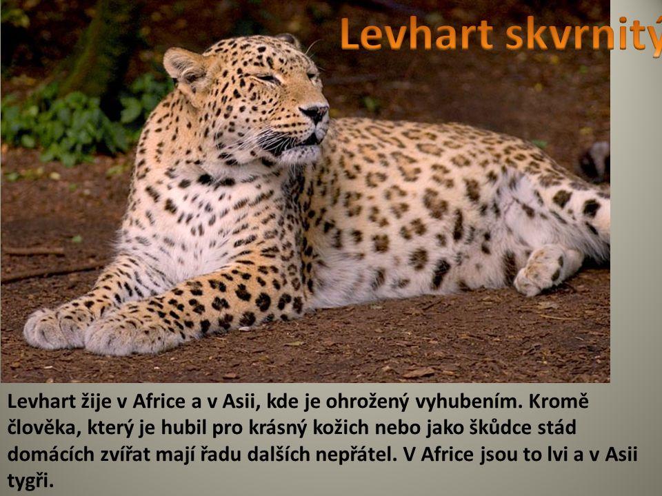 Levhart žije v Africe a v Asii, kde je ohrožený vyhubením. Kromě člověka, který je hubil pro krásný kožich nebo jako škůdce stád domácích zvířat mají