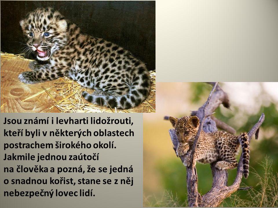 Jsou známí i levharti lidožrouti, kteří byli v některých oblastech postrachem širokého okolí. Jakmile jednou zaútočí na člověka a pozná, že se jedná o