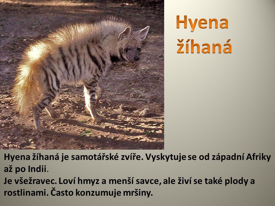 Hyena žíhaná je samotářské zvíře. Vyskytuje se od západní Afriky až po Indii. Je všežravec. Loví hmyz a menší savce, ale živí se také plody a rostlina