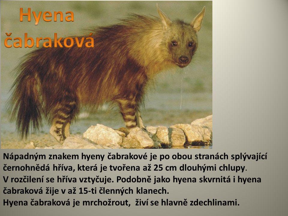 Nápadným znakem hyeny čabrakové je po obou stranách splývající černohnědá hříva, která je tvořena až 25 cm dlouhými chlupy. V rozčilení se hříva vztyč