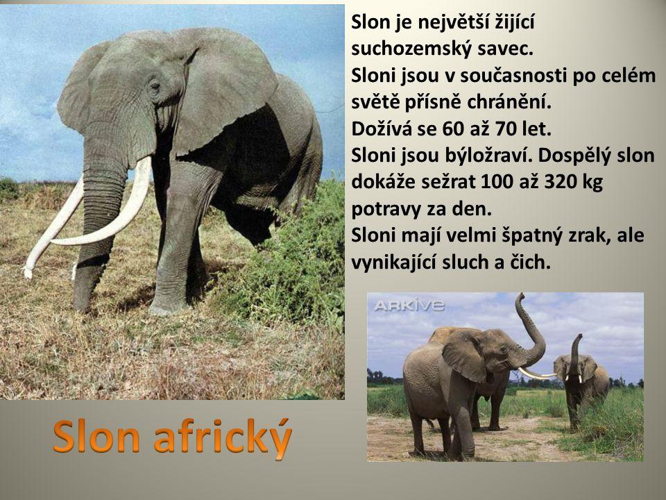 Slon je největší žijící suchozemský savec. Sloni jsou v současnosti po celém světě přísně chránění. Dožívá se 60 až 70 let. Sloni jsou býložraví. Dosp