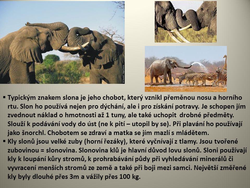  Typickým znakem slona je jeho chobot, který vznikl přeměnou nosu a horního rtu. Slon ho používá nejen pro dýchání, ale i pro získání potravy. Je sch