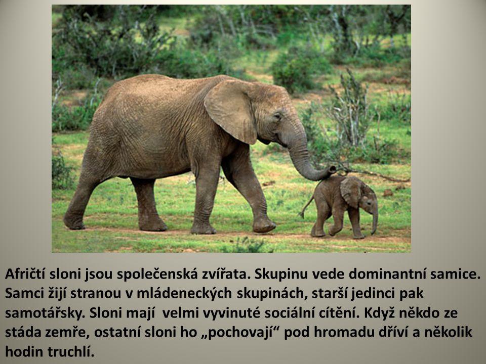 Afričtí sloni jsou společenská zvířata. Skupinu vede dominantní samice. Samci žijí stranou v mládeneckých skupinách, starší jedinci pak samotářsky. Sl