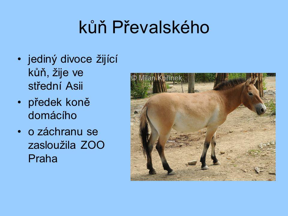 kůň Převalského jediný divoce žijící kůň, žije ve střední Asii předek koně domácího o záchranu se zasloužila ZOO Praha