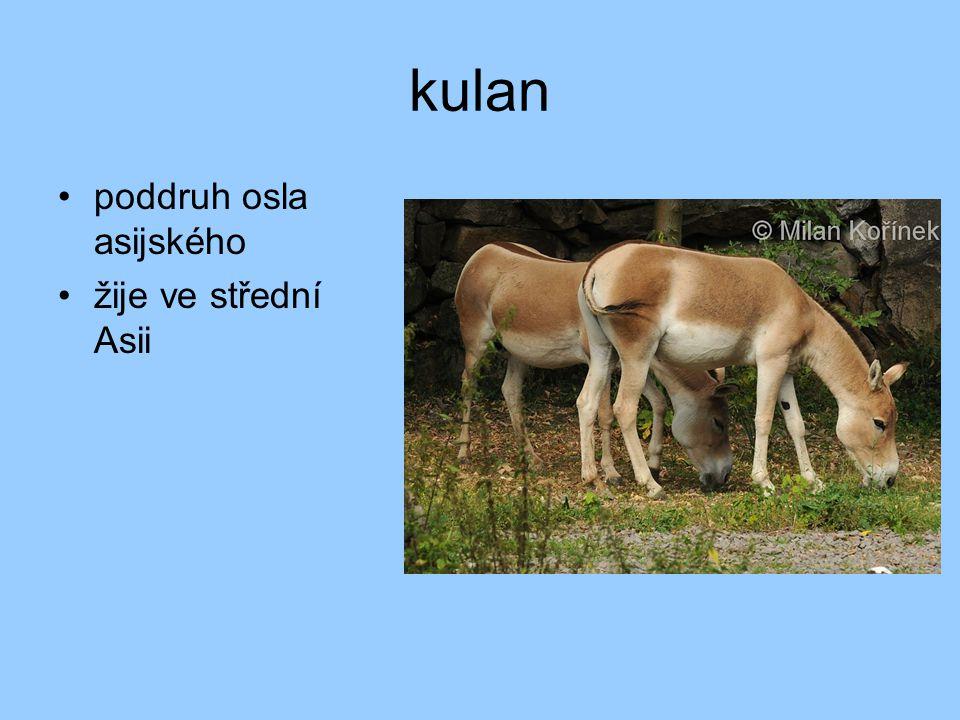 kulan poddruh osla asijského žije ve střední Asii
