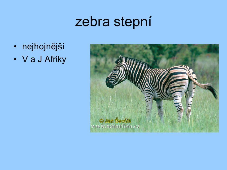 zebra stepní nejhojnější V a J Afriky
