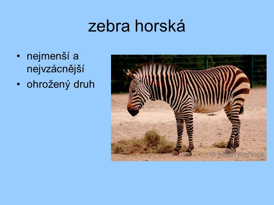 zebra horská nejmenší a nejvzácnější ohrožený druh