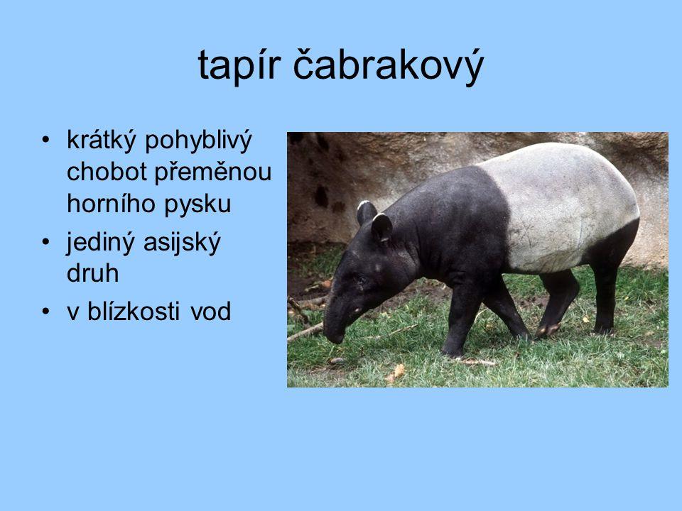 tapír čabrakový krátký pohyblivý chobot přeměnou horního pysku jediný asijský druh v blízkosti vod