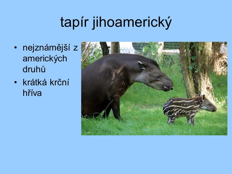 tapír jihoamerický nejznámější z amerických druhů krátká krční hříva