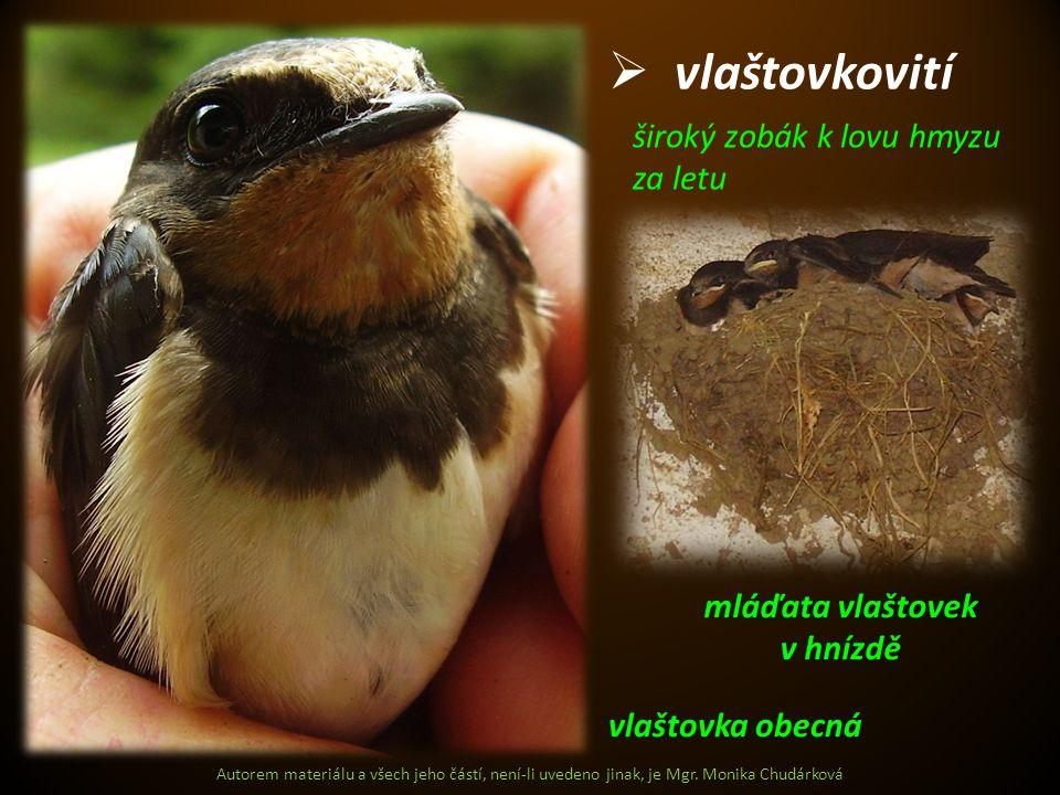 Autorem materiálu a všech jeho částí, není-li uvedeno jinak, je Mgr. Monika Chudárková  vlaštovkovití vlaštovka obecná mláďata vlaštovek v hnízdě šir