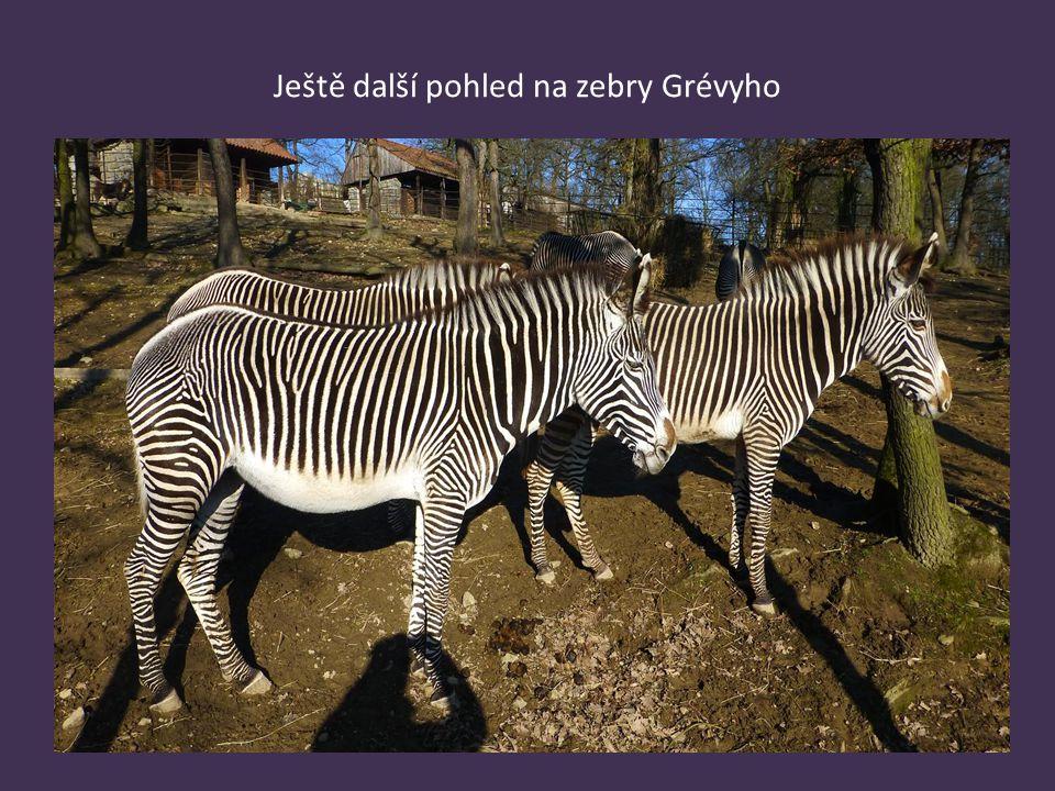 Ještě další pohled na zebry Grévyho