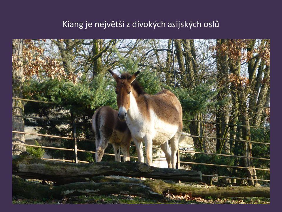 Kiang je největší z divokých asijských oslů