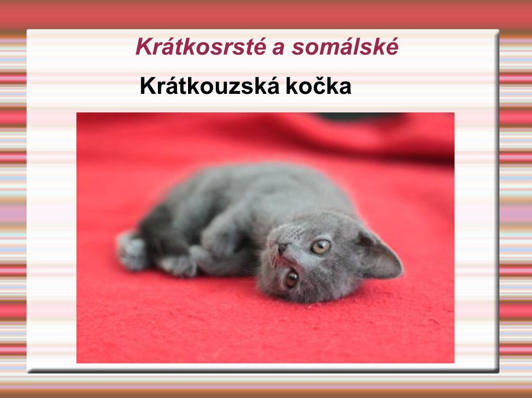 Krátkosrsté a somálské Krátkouzská kočka