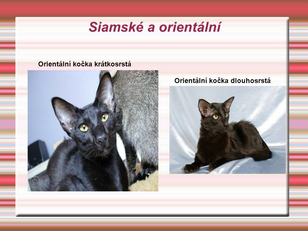 Siamské a orientální Orientální kočka dlouhosrstá Orientální kočka krátkosrstá