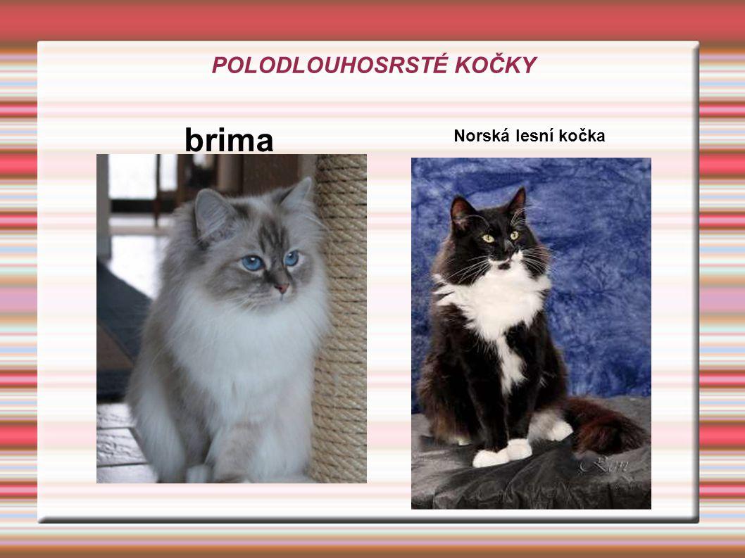KRÁTKOSRSTÉ A SOMÁLSKÉ ZÁSTUPCI: bengálská kočka burmilla britská kočka kartouzská kočka ZAJÍMAVOST: je to nejpočetnější skupina