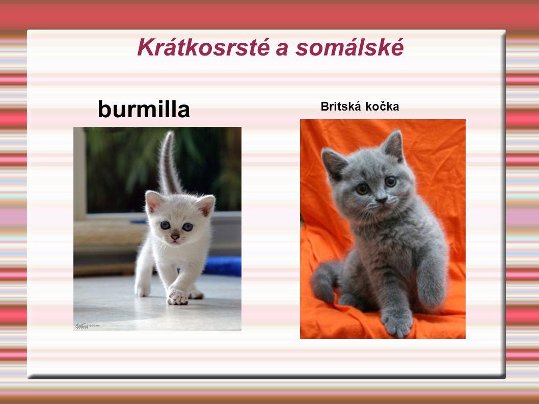 Krátkosrsté a somálské burmilla Britská kočka