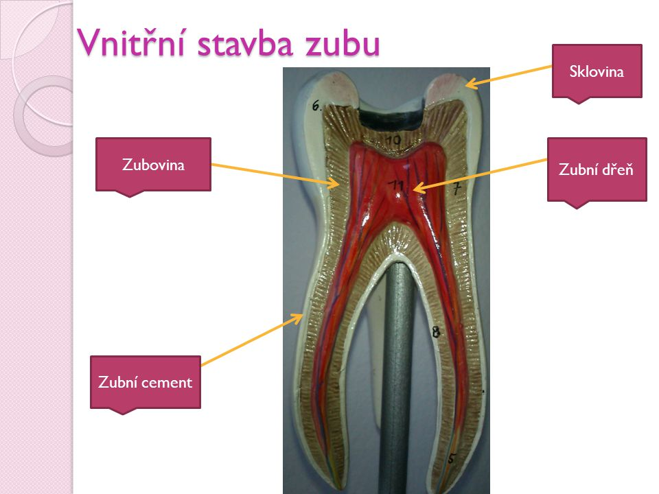 Vnitřní stavba zubu Zubovina Zubní cement Sklovina Zubní dřeň