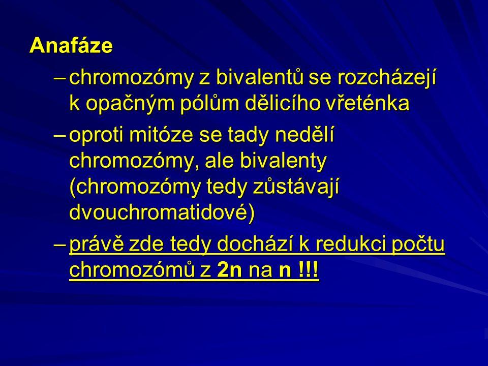 Anafáze –chromozómy z bivalentů se rozcházejí k opačným pólům dělicího vřeténka –oproti mitóze se tady nedělí chromozómy, ale bivalenty (chromozómy tedy zůstávají dvouchromatidové) –právě zde tedy dochází k redukci počtu chromozómů z 2n na n !!!