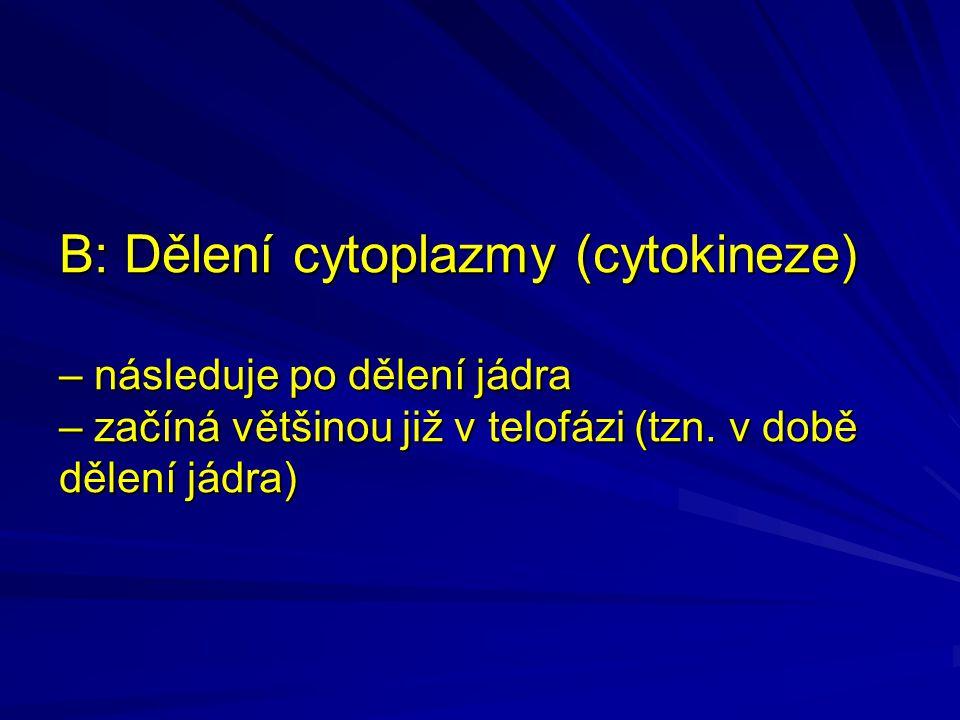 B: Dělení cytoplazmy (cytokineze) – následuje po dělení jádra – začíná většinou již v telofázi (tzn.