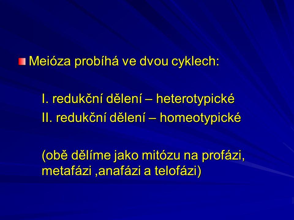 Meióza probíhá ve dvou cyklech: I. redukční dělení – heterotypické II.