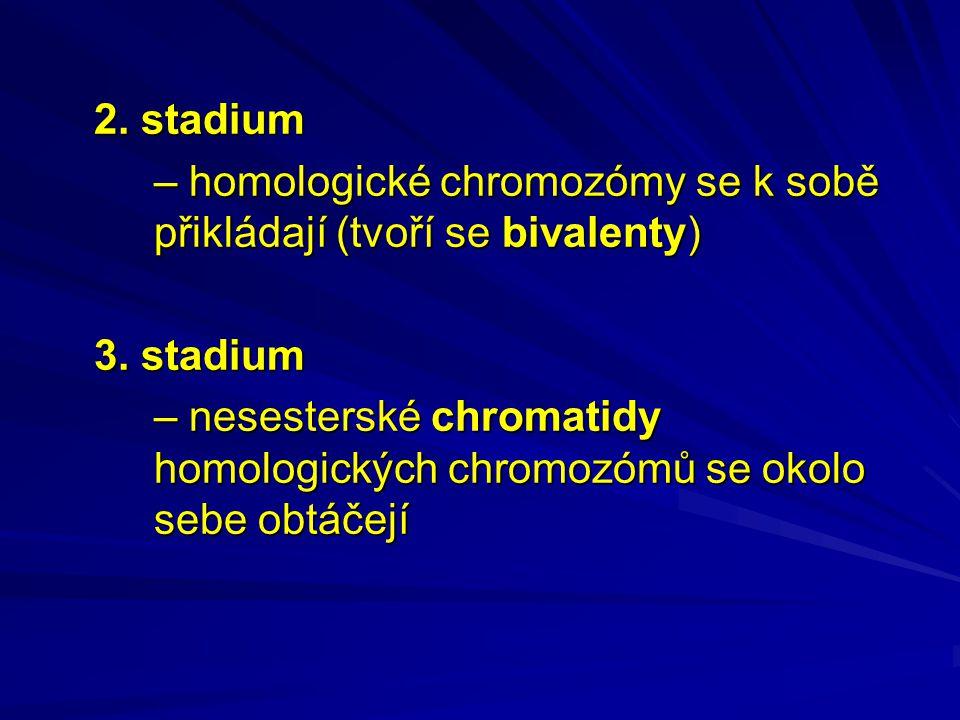 2. stadium – homologické chromozómy se k sobě přikládají (tvoří se bivalenty) 3.