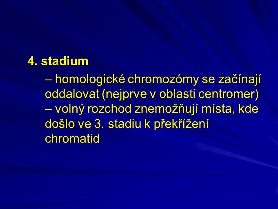 4. stadium – homologické chromozómy se začínají oddalovat (nejprve v oblasti centromer) – volný rozchod znemožňují místa, kde došlo ve 3. stadiu k pře