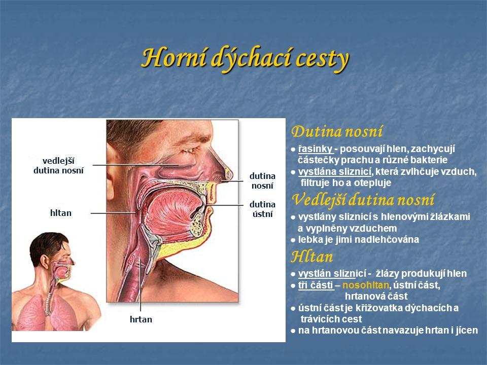 Horní dýchací cesty dutina nosní dutina ústní vedlejší dutina nosní hltan hrtan Dutina nosní ● řasinky - posouvají hlen, zachycují částečky prachu a r