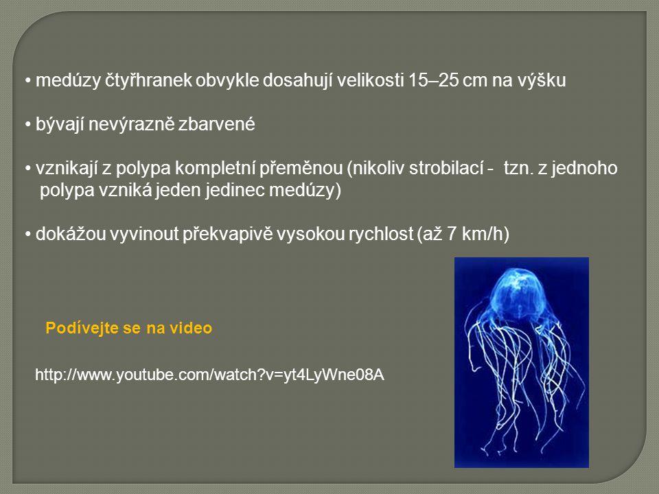 medúzy čtyřhranek obvykle dosahují velikosti 15–25 cm na výšku bývají nevýrazně zbarvené vznikají z polypa kompletní přeměnou (nikoliv strobilací - tzn.