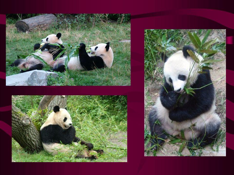 Panda velká Jeden z nejznámějších a nejohroženějších savců Výskyt v jihozápadní Číně Samotářské zvíře Původně byla šelmou, dnes však jen mírumilovným vegetariánem, živící se bambusem 2/3 dne tráví sháněním potravy-bambusu spořádá až 20kg Umění šplhat na stromy využívá jen v ohrožení Přední tlapy vybaveny šestým drápem k uchopení bambusu