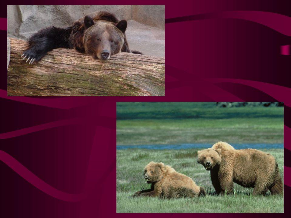 medvěd Grizzly Hmotnost až 830kg Výskyt: zejména v Kanadě a na Aljašce Poddruh medvěda hnědého Svému jménu vděčí za dlouhé chlupy se stříbrnými špičkami, které mu dodávají srsti šedý nádech anglické,,grizzle,,- šedá barva Má obrovské zahnuté drápy Nejagresivnější druh medvěda Jsou sice velmi mohutní, nicméně se dokážou pohybovat rychlostí až 57km/h