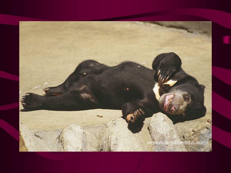 Medvěd malajský Výskyt: poloostrov Zadní Indie, Malajský poloostrov a na souostroví Velké Sundy Žlutooranžová skvrna na hrudi mu vynesla přezdívku,,sluneční medvěd,, Nejmenší z čeledi medvědovitých Má poměrně vysokou inteligenci např.Jednou byl pozorován, jak strká dráp do klíčové dírky a otáčí jím nebo jiný samec postupně vymyslel čtyři metody jak uprchnout z výběhu