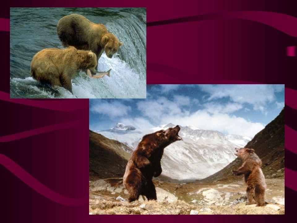 medvěd Kodiak Největší současný medvěd Je příbuzný Grizzlymu Výskyt: pouze na ostrově Kodiak Znamenitý rybář Dosahuje hmotnosti max.1,2 tuny Výška na při postavení na zadní až 3,5m