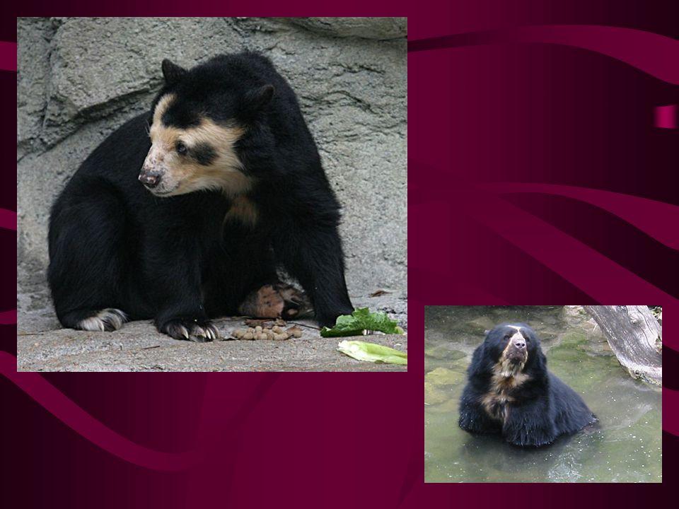 medvěd brýlatý Jeho rodové jméno odvozeno od bílé srsti okolo očí, díky které vypadá jako by nosil brýle Výskyt: v horách na severozápadě Jižní Ameriky Je závislý na deštném pralese, díky jeho kácení utrpěl tento druh značnou ztrátu
