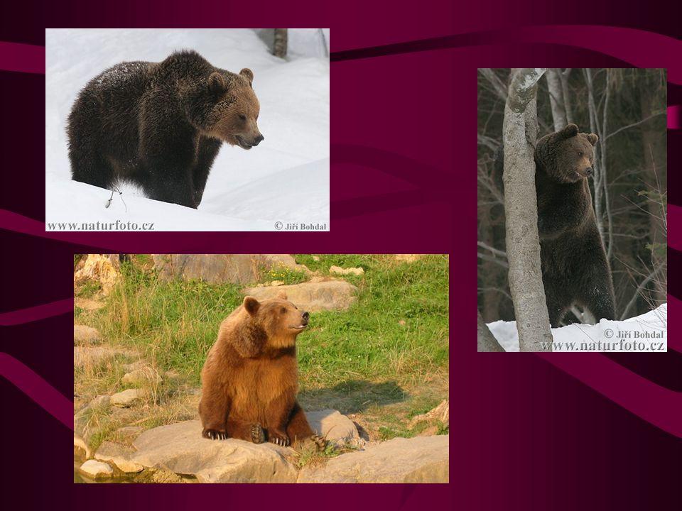 Medvěd hnědý Největší evropská šelma V ČR se vyskytuje velmi ojediněle v Beskydech, kam se zatoulá ze Slovenska Dosahuje hmotnosti až 250kg Je všežravec S oblibou vybírá med divokým včelám medjed-medvěd Medvíďata, většinou dvojčata, se rodí v lednu – únoru V zimě upadá do zimního spánku, z něhož se občas probouzí Nejrozšířenější druh medvěda