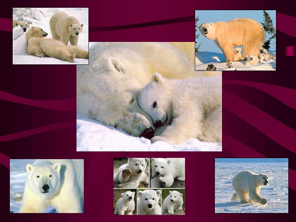 Medvěd lední Třetí největší suchozemská šelma na světě Žlutobílou barvou srsti se dokonale přizpůsobuje svému okolí Obzvlášť dobře vyvinutý čich Je chráněn Výskyt: v Grónsku,na jižním okraji arktického ledového pásma a na pobřeží S.Ameriky a Asie Hladké a kluzké svahy zdolává tak, že sjede po břiše s roztaženýma nohama