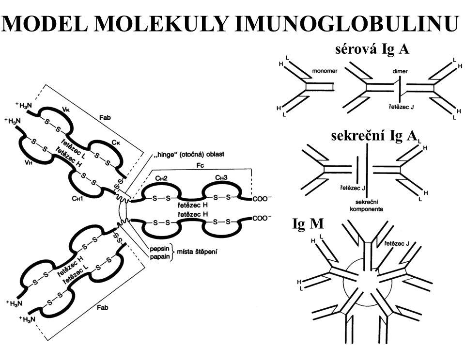 MODEL MOLEKULY IMUNOGLOBULINU sérová Ig A sekreční Ig A Ig M