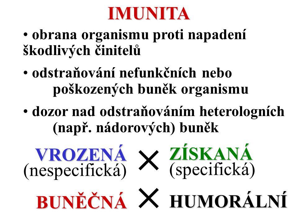 ZÍSKANÁ (SPECIFICKÁ) IMUNITA HUMORÁLNÍ – zprostředkována B lymfocyty aktivaceuvolnění Y Y Y Lymfocyt B Plazmatická buňka Specifické protilátky IgE IgD IgA IgM IgG T lymfocyty BUNĚČNÁ – zprostředkována T lymfocyty T lymfocyty vyzrávají v brzlíku (thymu), kde se školí k rozeznávaní vlastních antigenů a k ničení antigenů cizích