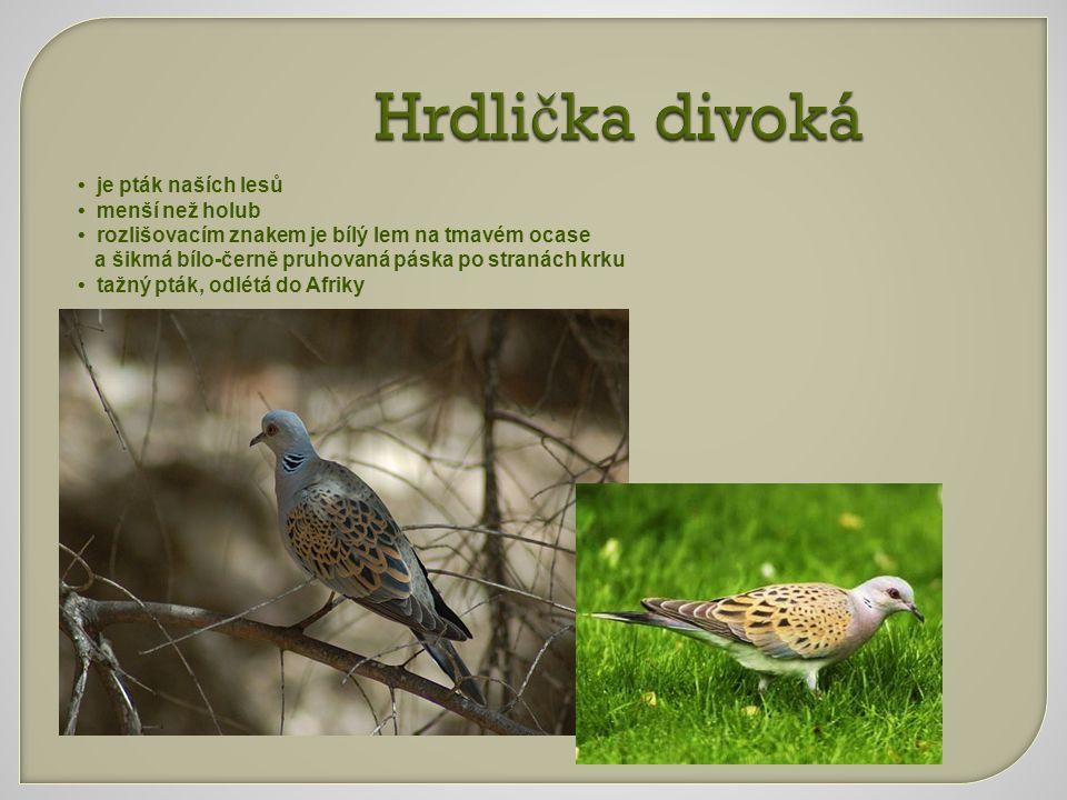 Hrdli č ka divoká je pták naších lesů menší než holub rozlišovacím znakem je bílý lem na tmavém ocase a šikmá bílo-černě pruhovaná páska po stranách k