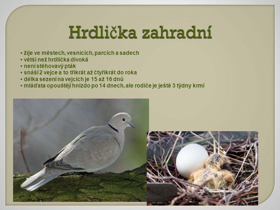 Hrdli č ka zahradní Hrdli č ka zahradní žije ve městech, vesnicích, parcích a sadech větší než hrdlička divoká není stěhovavý pták snáší 2 vejce a to