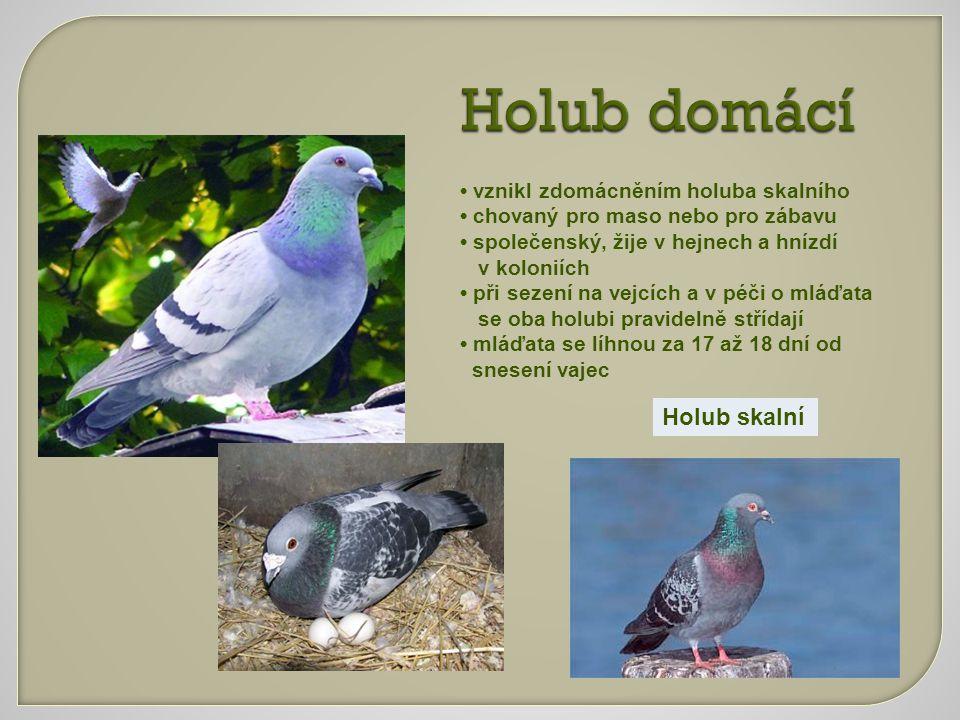 Holub domácí vznikl zdomácněním holuba skalního chovaný pro maso nebo pro zábavu společenský, žije v hejnech a hnízdí v koloniích při sezení na vejcíc