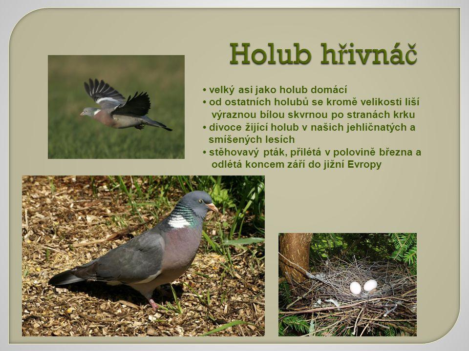 Holub h ř ivná č velký asi jako holub domácí od ostatních holubů se kromě velikosti liší výraznou bílou skvrnou po stranách krku divoce žijící holub v