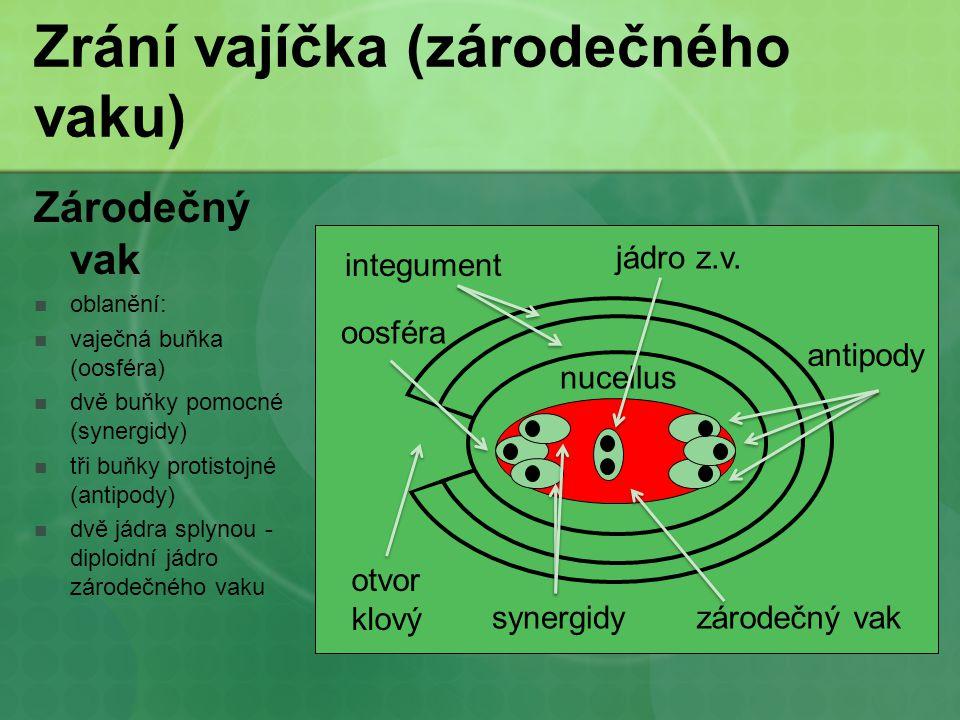 Zrání vajíčka (zárodečného vaku) Zárodečný vak oblanění: vaječná buňka (oosféra) dvě buňky pomocné (synergidy) tři buňky protistojné (antipody) dvě já